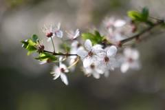 Prune / すもも       Hermagis Paris CINEMA    F=95m/m (情事針寸II) Tags: ngc bokeh projectionlens closeup nature flower fleur 白 春 クローズアップ 自然 花 すもも prunussalicina hermagispariscinemaf95mm