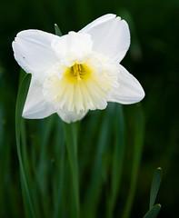 White daffodil (williams.stuart72) Tags: flower flowers floral daffodil daffodils nikond7200 nikon sigma1750mmf28 closeup nature natural white green wild