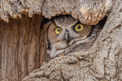 Great Horned Owl (Kevin E Fox) Tags: longearedowl owl ear raptor ephrata pa pennsylvania bird birding birdwatching birds birdphotography sigma150600sport sigma nature nikond500 nikon adobe lightroom raw tree cavity mother adult nest