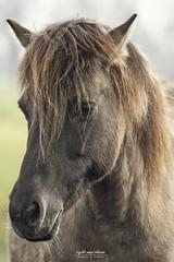Wildpferd im Merfelder Bruch 1.0 (Light and shade by Monika) Tags: horse animalshot animal wildlife porträt münsterland wildpferd