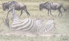 COMMON ZEBRA 3 (Nigel Bewley) Tags: commonzebra equusquagga tanzania africa wildlife nature wildlifephotography nigelbewley photologo appicoftheweek safari gamedrive maswagamereserve march march2019 wildebeest connochaetestaurinus