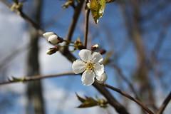 Frühling am Main (knipserkatrin) Tags: mainufer main blossom blüte frühling spring eos450d canon palmengarten frankfurt botanical garden hessen nature natur park parc beauty schön toll bockenheim