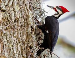 Pileated Woodpecker (backyardzoo) Tags: 20190102 bird pileated woodpecker