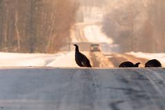 ''Traverse de dindes!'' Dindon sauvage-Wild turkey (pascaleforest) Tags: oiseau bird animal passion nikon nature campagne wild wildlife faune québec canada route light lumière