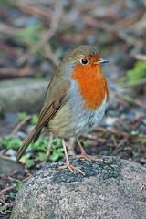 robin (DODO 1959) Tags: wildlife robin avian birds animal nature fauna craigynos countrypark wales outdoor micro43 300mmf4 olympus omdem1mk2