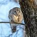 Chouette rayée / Barred Owl (Jean-Marc Cossette) Tags: chouetterayée