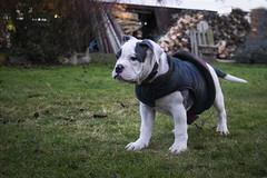 Hugo (Alasdaircrawford) Tags: dog canine bulldog old olde english staffie staffordshire staffy american bull puppy pup pupper pet cute young aww