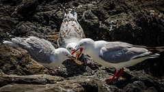 Breaaaaaaad (Stefan Marks) Tags: animal bird bread feeding food gull juvenile nature outdoor redbilledgull rock omaha northisland newzealand