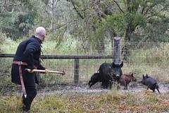 EEF_7688 (efusco) Tags: boar medieval spear brambleschoolearteofthehunt bramble schoole military arts academy florida ferel hog pig
