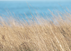 Samphire Hoe   (Explore 22/01/19) (only lines) Tags: samphirehoe dover grass winter