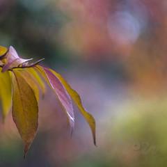 Craving Colour! (Fourteenfoottiger) Tags: autumn autumncolours fall fallcolours leaves leaf colours colourful bright sunshine nature trees garden plants bokeh helios44m legacylens