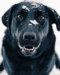 photography & animals (eva michie) Tags: dogs pets animals portraits portrait photography cool awesome amazing interesting snow white winter storm snowstorm snowstorms puppies puppy black snowflakes snowflake macro details detail outside nature outdoors light