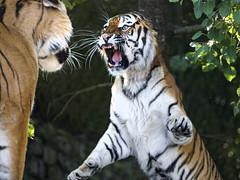An argument between Elena and Sayan (Tambako the Jaguar) Tags: tiger big wild cat siberian amur male female couple fighting action argument violent portrait standing zürich zoo switzerland nikon d5