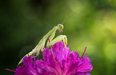 Ignite the Light (Kathy Macpherson Baca) Tags: insect world bug mantis african flower green planet light macro predator stalk earth tropical nature wildlife