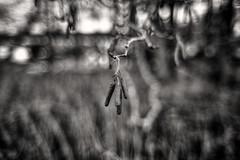 Karat (Svendborgphoto) Tags: monochrome manualfocus nikkor nikon nature nikkorais nikondigital nikond800 nikkorai nikkorlenses 28mm f2 nc bw bokeh blackandwhite blur denmark d800 dof detail