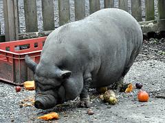 very fat pig. (robárt shake) Tags: pig hängebauchschwein schwein tiere animal fressen eating ugly grau grey fat fett dick hässlich dirty unfriendly unfreundlich gefräsig unersättlich faul