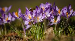 Erste Nahrung (KaAuenwasser) Tags: krokusse blume blumen blüte blüten pflanze pflanzen blütenblätter makro insekt biene fliegend park anlage wild leben insekten nahrung pollen nektar schatten wiese gras sonne tag 2019 sony ilce7rm3 schlossgarten karlsruhe morgens ngc