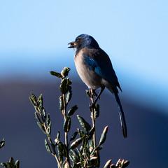 Scrub Jay with nut (soundstruck) Tags: bird scrubjay clm chatsworthlakemanor