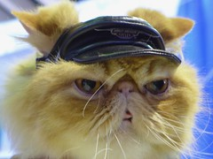 Leather cat (pburka) Tags: westminster dogshow animal pet nyc cute cat costume hat biker harley leather motorcycle persian meetthebreeds