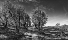 Olive Trail in Black and White (allentimothy1947) Tags: califonia hwy12 landscape nature otherkeywords rbcohnwinery sonomacounty barrel clouds earlyspring envrironment flowers grass hdr hills mustard olivetrees road trees vines vineyard vineyards bw blackandwhite