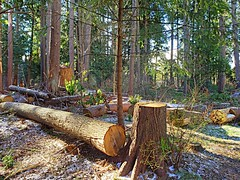 The woods on a sunny morning (walneylad) Tags: kirkstonepark lynnvalley northvancouver britishcolumbia canada park parkland urbanpark woods woodland forest urbanforest rainforest trees stump log ferns branches leaves sun bluesky february winter nature scenery view