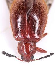 Paratenetus2018-12-8camp_4367c (mcclarinj) Tags: paratenenetus tenebrionidae cosanga napo ecuador jimmcclarin