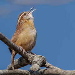 Carolina Wren (Thryothorus ludovicianus) (Kevin E Fox) Tags: carolinawren wren bird birding birdwatching birds newbritain pennsylvania peacevalley sigma150600sport sigma nature nikond500 nikon