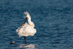 Spoonbill (Corine Bliek) Tags: birds vogel vogels nature natuur spring lente waders white blue wildlife bird water lake egret platalealeucorodia
