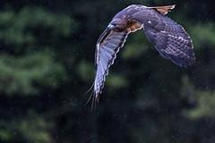 Red-tailed hawk. (ricmcarthur) Tags: hawk redtail buteojamaicensis redtailedhawk canadianraptorconservancy bird ricmcarthur rickmcarthur rondeauric