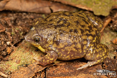 Hemisus marmoratus - Mottled Shovel Nosed Frog. (Tyrone Ping) Tags: tyrone ping wwwtyronepingcoza south africa african herps herping nature canon 5dmiii wwtyronepingcoza creatures critters cute 100mmmacrof28 mt24ex flash photography reptile amphibian frogs snake lizard beautiful hemisus marmoratus mottled shovel nosed frog