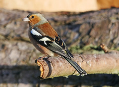 Photo of Chaffinch (Male)