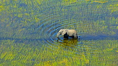 Deft wader (John Kok) Tags: botswana centralokavangodelta eagleislandcamp august2010 africanbushelephant elephant loxodontaafricana nikkor7020028vr