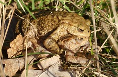 Toadally in Love (StevePaisley) Tags: amplexus common toad bufo amphibian bookham commons