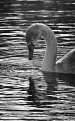 M2186206 E-M1ii 420mm iso250 f5.6 1_250s 0 (Mel Stephens) Tags: 20181118 201811 2018 q4 10x16 5x8 tall olympus mzuiko mft microfourthirds m43 300mm pro mc14 omd em1ii ii mirrorless gps bw black white silver efex animal animals nature wildlife fauna bird birds swan uk scotland garmouth moray spey