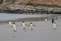 Out for a Stroll! (Linda Martin Photography) Tags: gentoopenguin saundersisland southatlanticocean pygoscelispapua falklandislands
