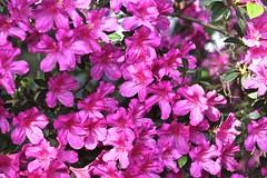0B6A1601 (Bill Jacomet) Tags: azalea azaleas flower flowers houston tx texas 2019