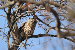 Barred Owl (Tyler C. Grudowski Photography) Tags: illinois chicago canon bird birds owl owls raptor raptors animal animals wildlife nature
