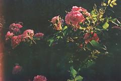 (letny vecher) Tags: 35mm 35мм smena8m smena8 smena смена8м смена8 смена пленочнаяфотография пленка аналоговаяфотография пленка35мм nofilter analogphotography russiaphoto lomography filmisnotdead filmphoto analog analogfilm 35mmrussia 35mmfilm 35ммпленка fujifilm400 fuji fujifilm fujifilmsuperia400 летнийвечер flowersonfilm flowers цветы xtra