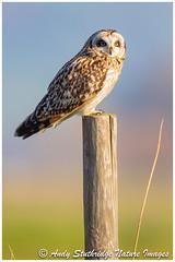 Morning Glory! (www.andystuthridgenatureimages.co.uk) Tags: owl shortened post fence perch perched morning light birdofprey daytime daylight winter sky somersetlevels uk