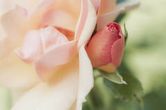 My fairy roses (Tashata) Tags: macro nature roses closeup summer colors outdoor pentax pentaxk01 plant petals flowers smcpentaxdfamacro100mmf28wr