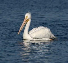 The Great White Pelican (Darts5) Tags: whitebird whitepelican whitepelicans pelican pelicans bird birds largewhitebird americanwhitepelican animal nature 7d2 7dmarkll 7dmarkii 7d2canon ef100400mmlll canon7d2 canon7dmarkii canon7dmarkll canon canonef100400mmlii