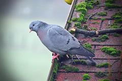 Curious Stock Dove (Deida 1) Tags: bird stockdove garden uk staffordshire roof columbaoenas
