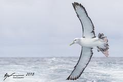 White-capped Albatross (R. Francis) Tags: whitecappedalbatross thalassarchecautasteadi eaglehawkneck ryanfrancis ryanfrancisphotography tasmania tassie tas tasmanpeninsula continentalshelf