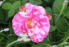 O heilges Blut, das, mir zu gut (amras_de) Tags: rose rosen ruža rosa ruže rozo roos arrosa ruusut rós rózsa rože rozes rozen roser róza trandafir vrtnica rossläktet gül blüte blume flor cvijet kvet blomst flower floro õis lore kukka fleur bláth virág blóm fiore flos žiedas zieds bloem blome kwiat floare ciuri flouer cvet blomma çiçek