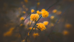 Tickseed Sunray (Dhina A) Tags: sony a7rii ilce7rm2 a7r2 a7r psychotar 50mm noname50mm russian soviet ussr vintage monocle tickseed sunray coreopsis grandiflora flower bokeh