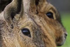 Patagonian Mara (Hugobian) Tags: patagonian mara mammal nature animal eye eyes pentax k1 yorkshire wildlife park