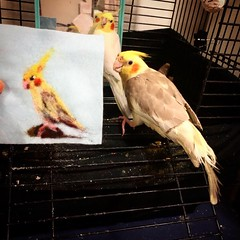 The Needle felting of Charlie the cockatiel. (akolamble) Tags: needlefelting cockatiel bird parrot art craft woolpainting