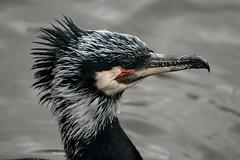 Aalscholver (K.Verhulst) Tags: aalscholver greatcormorant cormorant birds bird vogels vogel blijdorp blijdorpzoo diergaardeblijdorp rotterdam