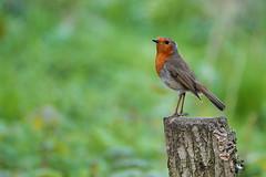 Robin (sumowesley) Tags: bird fauna nature oldmoor robin