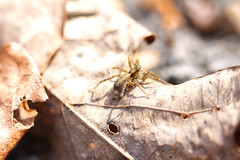 Ground spider (f.tyrrell717) Tags: spider pine barrens brown ground